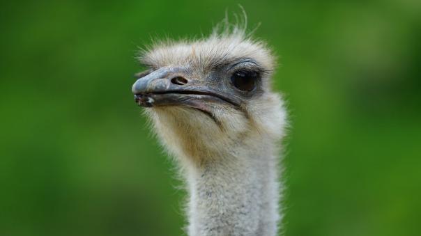 ostrich-730858_1280